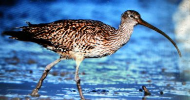 SCIENCE-ORNITOLOGY: BALANGA CITY- Russian bird spotted in Bataan for 1st time