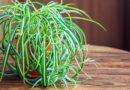 Chlorophytum Comosum 'Spider Plant': 6/6 Bedroom Plants Will Help You Catch Some Z's