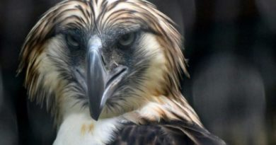 ORNITHOLOGY: SINGAPORE- A male Philippine eagle named Geothermica showed up