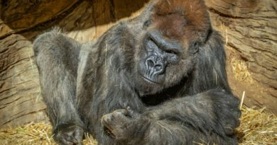 COVID-19 PANDEMIC: WASHINGTON – Gorilla treated with antibodies recovering from Covid, says US zoo