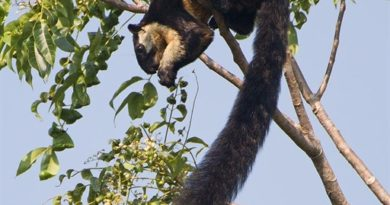 SCI-TECH-ZOOLOGY: The Black Squirrel in Việt Nam dwells solely on one island